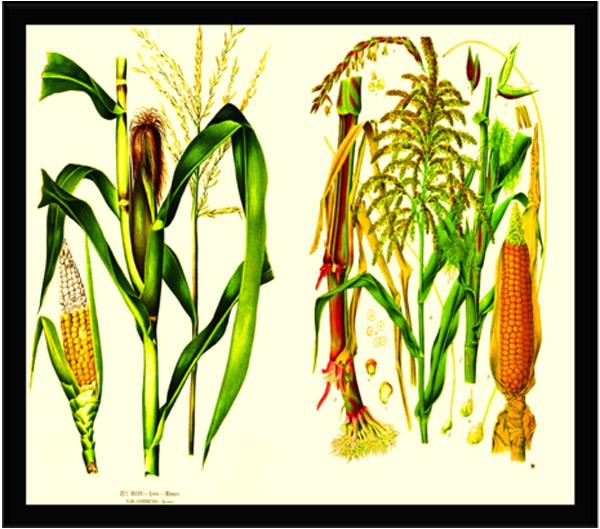 Arte Rupestre La Mazorca Se Desgrana Agricultura Temprana Y